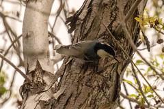 Arizona Trip - Green Valley Park Birding (phicks172) Tags: arizonatripgreenvalleyparkbirding dsc7064 nutcracker whitebreastednuthatch arizonatrip bird nature payden az usa