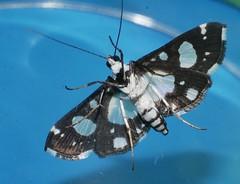 Peewee moth Glyphodes conjunctalis Crambidae Pyraustinae Airlie Beach rainforest P1050014 (Steve & Alison1) Tags: peewee moth glyphodes conjunctalis crambidae pyraustinae airlie beach rainforest black white