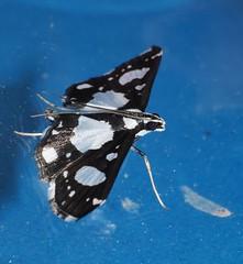 Peewee moth Glyphodes conjunctalis Crambidae Pyraustinae Airlie Beach rainforest P1050015 (Steve & Alison1) Tags: peewee moth glyphodes conjunctalis crambidae pyraustinae airlie beach rainforest black white