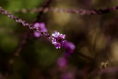 One spot of light (ProSession) Tags: verbena flower flora pink bokeh summertime nature canon6d 100mmmacrolens