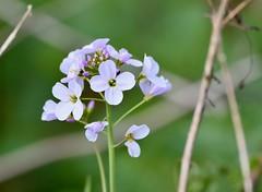 Soft Purple. (pstone646) Tags: flower nature plant purple green flora bokeh soft closeup