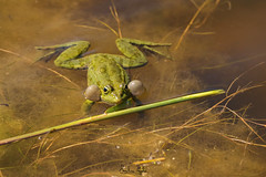 Amphibian concerto ! (Emeline P) Tags: sony alpha wildlife animal nature bird wild naturelovers landscape sea water mer oiseau france foulque échasse aigrette grenouille tortue mésange nidification reproduction wildanimal wildlovers