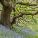 Bluebell Oak wood