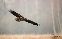 Immature White-tailed Eagle! (Jambo53 ()) Tags: nikond800 nikon500mmf4 whitetailedeagle zeearend roofvogel raptor birdofprey crobertkok