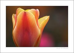 Tulip (G. Postlethwaite esq.) Tags: canon40d dof macro sigma70200f28 unlimitedphotos bokeh closeup depthoffield flower garden photoborder plant selectivefocus tulip