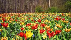 tulips (Jos Mecklenfeld) Tags: sonya6000 sonyilce6000 sony30mmf35macro sel30m35 westerwolde niederlande nederland flowers blumen bloemen tulips tulpen colors farben kleuren terapel groningen netherlands
