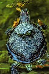 Passaggio - Passage (Eugenio GV Costa) Tags: approvato animali tartarughe turtle animals