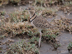 Double-banded Courser Rhinoptilus africanus gracilis (nik.borrow) Tags: bird courser ndutu