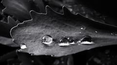 Drops on the leaf. (ALEKSANDR RYBAK) Tags: дождь капли вода прозрачность листик монохромный макро крупный план rain drops water transparency leaf monochrome macro closeup