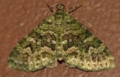 Spargania (Birdernaturalist) Tags: geometridae larentiinae lepidoptera madrededios moth peru richhoyer