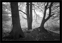 Sony A7R IR 720nm with 850nm filter, Sony 16-35mm Vario-Tessar T FE F4 ZA OSS (Dierk Topp) Tags: 850nm a7r bw bäume ilce7r ir sony1635mmvariotessartfef4zaoss sonya7rir infrared monochrom reinfeld sw sony trees wald wood