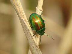 Tansy Beetle (Chrysolina graminis) (Julian Hodgson) Tags: tansybeetle chrysolinagraminis coleoptera chrysomelidae insect beetle leafbeetle woodwaltonfen nationalnaturereserve ramseyheights cambridgeshire unitedkingdom sonydschx400v raynoxdcr150