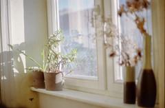 (ajandok gyenis) Tags: yashica analog window windowsill plants plant succulent berlin