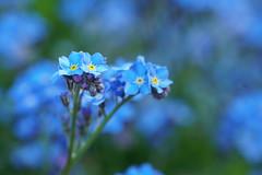Un monde en bleu... (passionpapillon) Tags: macro fleur flower bleu blu myosotis passionpapillon 2019