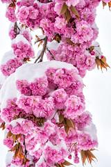 Kirschblüten im Schnee (stefangruber82) Tags: snow schnee alps alpen tirol tyrol cherry cherryblossom flower blüte