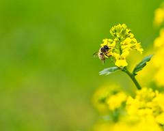 einsammeln (lebastian) Tags: insekt nature natur bokeh farben color makrofotografie makro biene bee panasonic dmcgx8 olympus m60mm f28 macro