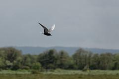 Black Tern (VaughanG) Tags: blacktern somersetlevels sonyrx10m4