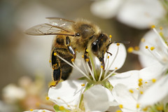 Bienen besuchen Blüten (GerWi) Tags: bienen bees nektar blüten schlehenblüten blossoms strauch natur honig blütenstaub himmel makro macro