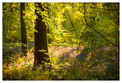 (Light Magnetic) Tags: wood plant landscape tree flower hampshire uk bluebells woodland