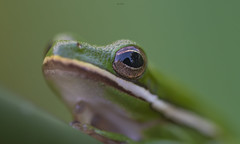 Vision of a Tree frog. (agnish.dey) Tags: macro frog treefrog wildlife naturallight nature naturephotograph nikon naturethroughthelens florida bokeh eye closeup coth animalplanet d500