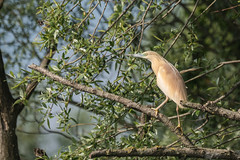 DSC00817 Ralreiger, Squacco Heron, Ardeola ralloides. (jwsteffelaar) Tags: ardeolaralloides ralreiger squaccoheron taxonomy:binomial=ardeolaralloides