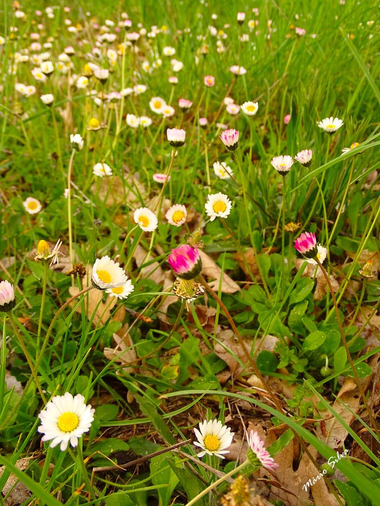 Águas Frias (Chaves) - ... o campo cravejado de flores campestres ...