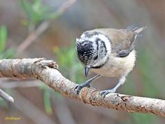 Herrerillo capuchino (Lophophanes cristatus) (12) (eb3alfmiguel) Tags: aves pájaros insectívoros passeriformes paridae herrerillo capuchino lophophanes cristatus