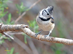Herrerillo capuchino (Lophophanes cristatus) (10) (eb3alfmiguel) Tags: aves pájaros insectívoros passeriformes paridae herrerillo capuchino lophophanes cristatus