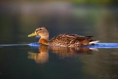Mallard (Steve Moore-Vale) Tags: mallard swimming bokeh female duck reflection bird avian aves wildlife nature animal uk england london