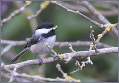 A Busy Parent (robinlamb1) Tags: nature outdoor animal bird chickadee blackcappedchickadee poecileatricapilla catterpillar branch branches bush