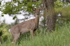White-tailed Deer - Odocoileus virginianus (Dave Boltz) Tags: canon7dmarkii birds outdoors nature wildlife lakefrederick frederickcounty virginia odocoileusvirginianus whitetaileddeer mammal deer