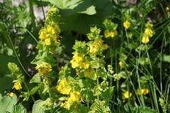 Rhynchocorys stricta Lago-Naki July 2018 (Aidehua2013) Tags: rhynchocorys stricta orobanchaceae lamiales plant flower lagonaki adygea maikopdistrict russia caucasus