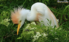 Picking posies (Shannon Rose O'Shea) Tags: shannonroseoshea shannonosheawildlifephotography shannonoshea shannon cattleegret egret bird beak feathers wings yelloweye headfeathers breedingplumage lores flowers leaves trees green white colorful colourful nature wildlife waterfowl bubulcusibis alligatorbreedingmarshandwadingbirdrookery gatorland orlando florida gatorlandbirdrookery rookery outdoors outdoor outside camera art photo photography photograph wild wildlifephotography wildlifephotographer wildlifephotograph femalephotographer girlphotographer womanphotographer shootlikeagirl shootwithacamera throughherlens canon canoneos80d canon80d canon100400mm14556lisiiusm eos80d eos 80d 80dbird canon80d100400mmusmii 2019 closeup birdphotographer naturephotographer birdyfeet talons claws profile