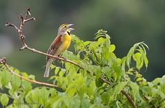 Dickcissel (Mary Sonis) Tags: bird singing dickcissel field migration carolina