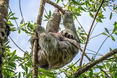 Mother Sloth (helenehoffman) Tags: mother costaricapanama2019 costaricantrails conservationstatusleastconcern uncruiseadventures arenalvolcanonationalpark mammal costarica bradypusvariegatus motherandchild arboreal sloth 3toedsloth brownthroated3toedsloth animal