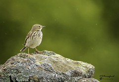 Tree Pipit (Richard Beresford) Tags: 2019 april barbrookplantation barlow birds canon7dmk2 nature peakdistrict pipit sigma150600mm spring treepipit wildlife