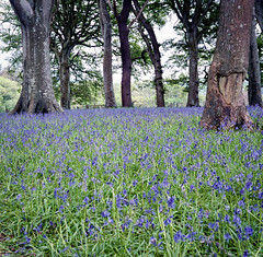 Green and Blue (Howie Mudge LRPS BPE1*) Tags: mamiyac330s fujipro400h epsonv800 bluebells field trees woods forest analog analogphotography 120film 6x6 negative film filmphotography filmisnotdead filmrevival filmcamera twinlensreflex tlr mediumformat nature gwynedd wales cymru