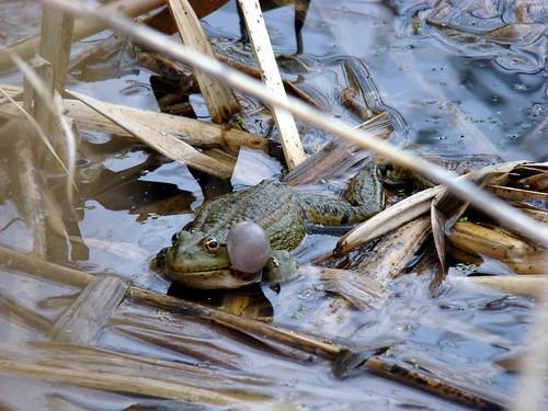 Лягушка в Парковом пруду ©  ayampolsky
