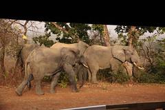 Savanna elephants, Mole Motel, Mole National Park, Ghana (inyathi) Tags: africa westafrica ghana africananimals africanwildlife africanelephants elephants savannaelephants loxodontaafricana molemotel molenationalpark safari