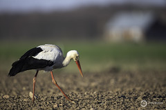 White Stork (Ciconia ciconia) (Ouroboros Photography) Tags: avian biebrzamarshes bird ciconiaciconia poland spring wader whitestork wildlife canon telephoto europe