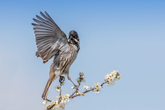 🎶... Go West ... 🎶 (Linda Martin Photography) Tags: dorset male wildlife longhamlakes bird reedbunting emberizaschoeniclus nature uk animal coth coth5 naturethroughthelens ngc npc alittlebeauty