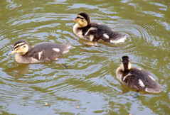 Trio of baby ducks (Tony Worrall) Tags: birds bird wild wildlife nature natural wet water canal cute fowl duck duckling small baby young preston lancs lancashire city welovethenorth nw northwest north update place location uk england visit area attraction open stream tour country item greatbritain britain english british gb capture buy stock sell sale outside outdoors caught photo shoot shot picture captured ilobsterit instragram photosofpreston ashtononribble ashton