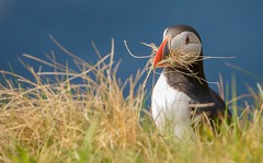 Atlantic Puffin collecting nesting material (haroldmoses) Tags: 2y3a07771 puffins sumburghhead shetlandislands flickrbirds