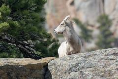 Soaking in Some Sunshine (RkyMtnGrl) Tags: wildlife nature sheep ewe bighorn rocks hillside spring colorado estespark 2019