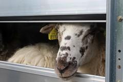 L'arrivée des moutons