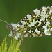 Anthocharis cardamines, Orange-tip, Minera, North Wales, May 2019