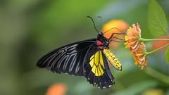 Golden Birdwing  5934 (Paul McGoveran) Tags: cambridgebutterflyconservatory nikon300mmf4 nikond850 sigma105mmf28 sigma150mmf28