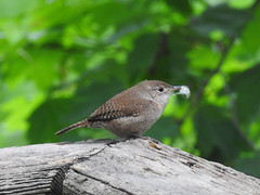 House Wren - Finishing Touches by the Female (annette.allor) Tags: songbird house wren bird nature wildlife nest building twigs sticks