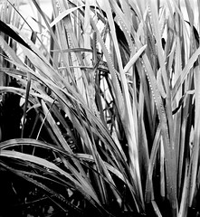 Acorus calamus L. Indischer Kalmus sweet flag (Spiranthes2013) Tags: acoruscalamusl indischerkalmus sweetflag acoruscalamus kalmus deutschland germany becker bayern bavaria lowerfranconia unterfranken lkmiltenberg kfwolfstetter scan diaarchiv diascan 6x6dia grün green 6x6 6x6dias magnoliopsida bedecktsamer monokotyledonen acorales kalmusartige acoraceae kalmusgewächse acorus plant plantae pflanze pflanzendias angiospermen angiosperms monocots monokotylodonen