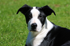 Sweet Pup (Diane Marshman) Tags: flynn greatdane mix pup puppy dog mixed breed young black white markings fur adopted rescue rescued animal outdoors grass